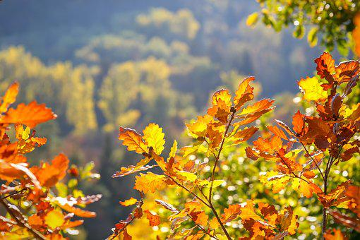 Oak Leaves, Autumn, Fall Foliage, Leaves, October