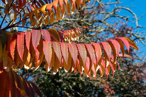 Rhus, Fall Foliage, Leaves, Colorful, Bright, Autumn