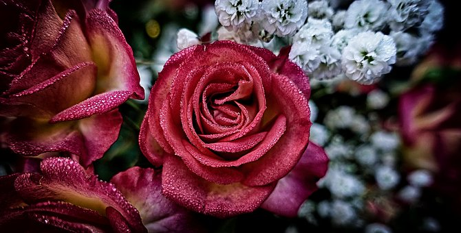 Roses, Plant, Flower, Garden, Red, Drop Of Water