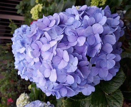 Hydrangea, Blue, Nature, Spring, Flowers, Flower