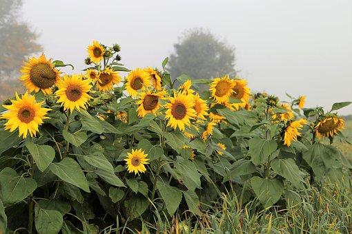 Sunflowers, Foggy Morning, Meadow, Plant, Flower