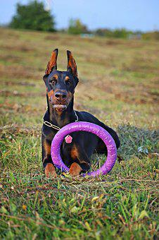 Doberman, Dog, Hoop, Lie, Game