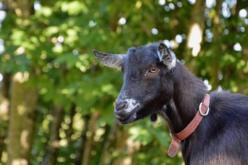 Goat, Goat Without Horn, Goat Black, Ruminants, Nature