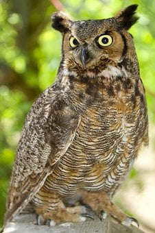 Owl, Great Horned Owl, Portrait, Nocturnal, Looking