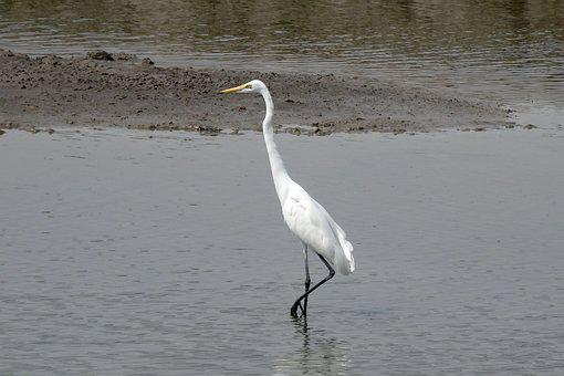 Great Egret, Ardea Alba, Large Egret, Great White Heron