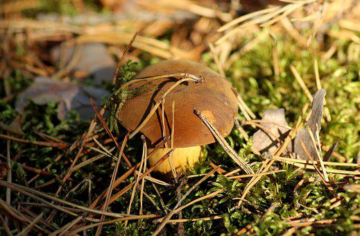 Mushroom, Forest, Mushrooms, Autumn, Edible, Hat