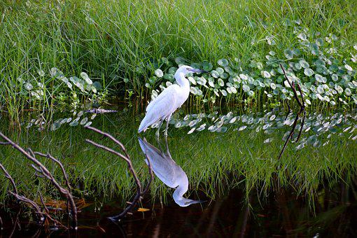 White Egret, Tropical Bird, Heron, Avian, Reflection