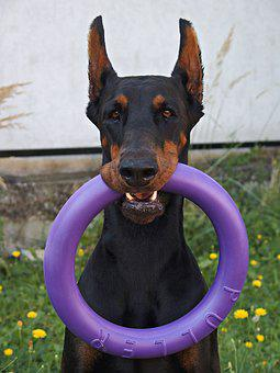 Doberman, Dog, Hoop, Nice, Game