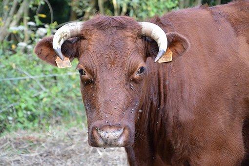 Cow, Cowhide, Cow Armorican, Horns White, Breeding