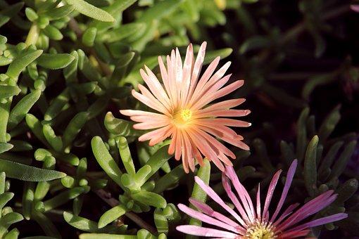 Ice Plant, Salmon, Flower, Blossom, Bloom, Nature