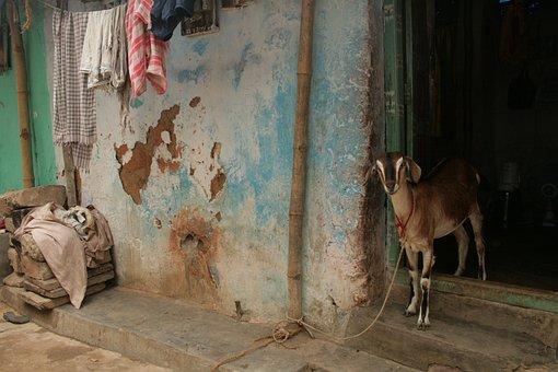 Goat, Rural India, India Goat