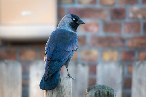 Jackdaw, Raven, Crow, Raven Bird, Bird, Watch, View