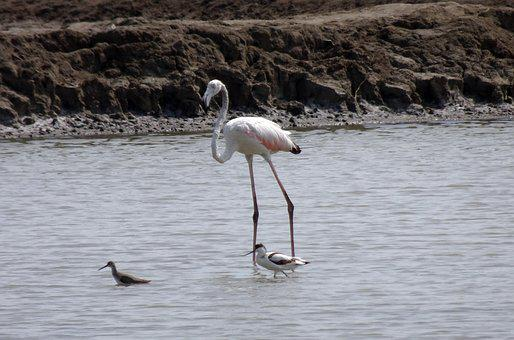 Bird, Greater Flamingo, Juvenile, Young