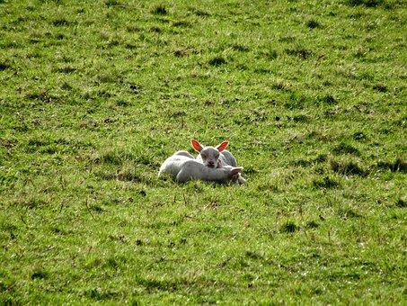 Lambs, Sheep, Animals, Sheep At Dike, Wool, Sleep