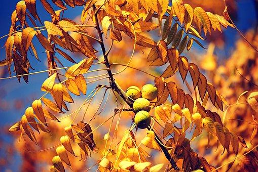 Fruit, Tree, Branch, Leaves, Autumn, Golden