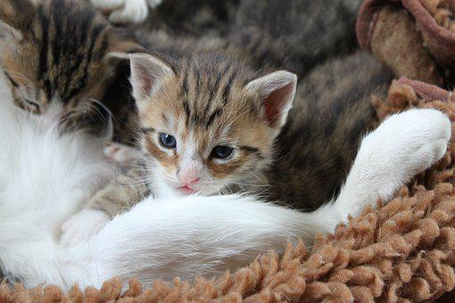 Kitten, Kitty, Pet, Animal, Mammal, Domestic Cat, Sweet