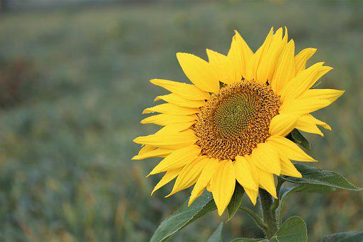 Sunflower, Morning, Meadow, Plant, Flower, Yellow