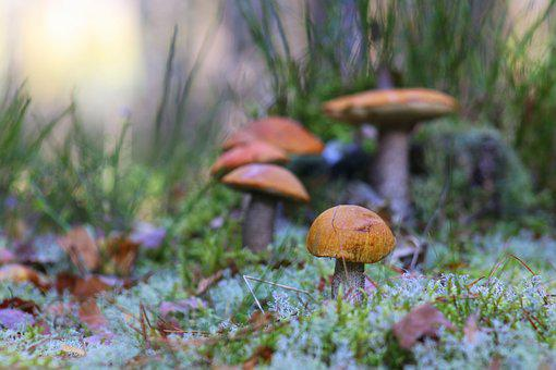 Mushrooms, Mushroom, Autumn, Forest, Moss, Edible