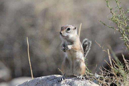 Desert, Squirrel, Nature, Animal, Cute