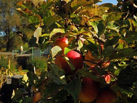 Fruit, Ripe, Apple Tree, Healthy, Nature, Vitamins