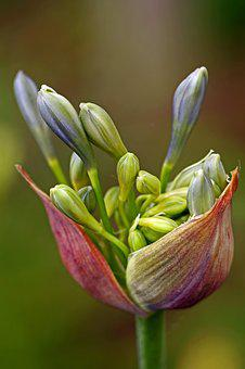 Agapanthus, Lily Of The Nile, Flower, Plant, Nature