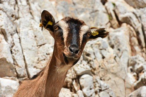Goat, Funny, Mammal, Animals, Goats, Nature, Portrait