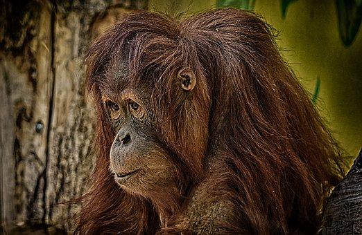 Orang Utan, Monkey, Cute, Funny, Zoo, Animal, Furry
