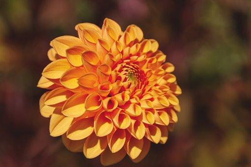 Dahlia, Nature, Flora, Plant, Bloom, Orange, Beauty