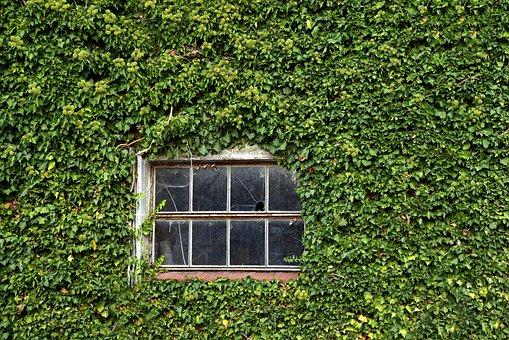 Window, Old, Wall, Overgrown, Green, Leaves, Rural