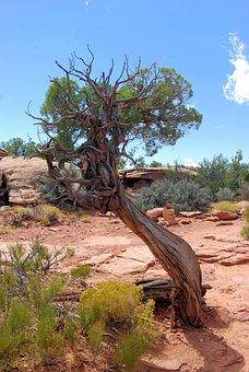 Gnarled Utah Juniper, Canyonlands, National, Park, Utah