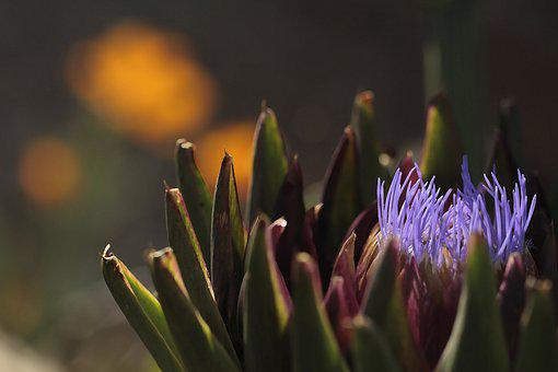 Blooming, Artichoke, Purple, Vegetables, Healthy, Plant