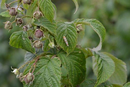 Raspberry, Plant, Buds