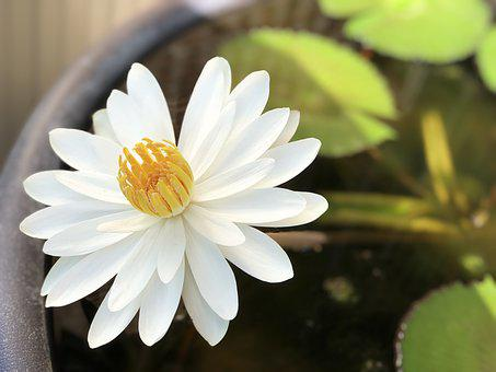 Lotus, White, Bloom, Sunshine, Pool
