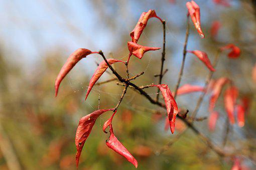 Red Leaves, Branch, Spider Net, Cobweb, Wet, Drops