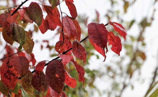 Red Leaves, Colorful, Branch, Autumn, Wet, Drops