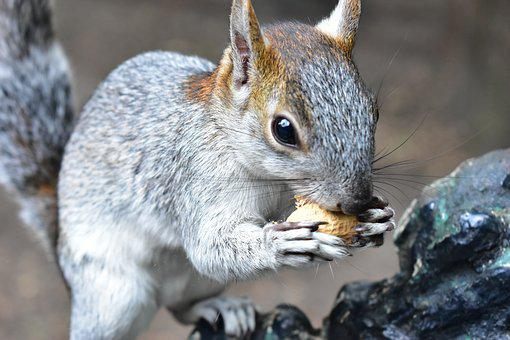 Squirrel, Animal, Rodent, Cute, Nature, Small, Wild