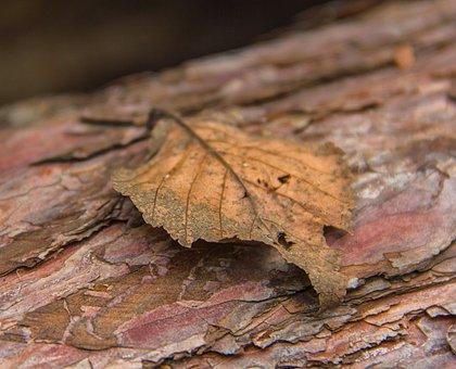Autumn Leaf, Leaf, Autumn, Nature, Brown, Season, Fall