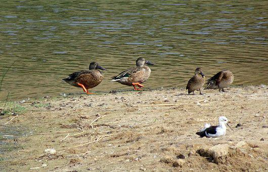 Duck, Bird, Northern Shoveler, Spatula Clypeata