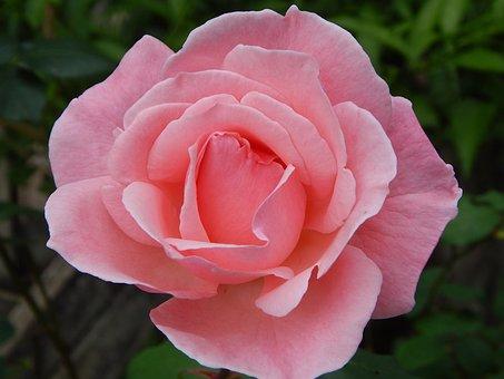 Rosa, Flower, Spring, Flat, Petal, Nature