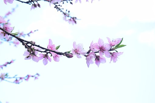 Peach Blossom, Views, Spring