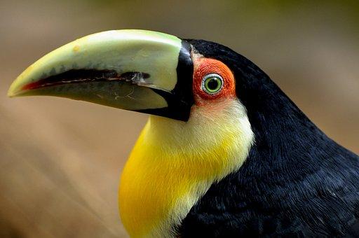 Toucan, Bird, Wild, Animal, Wildlife, Color, Colorful