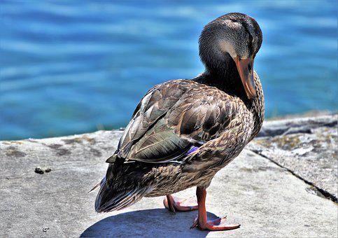 Duck, Water, Bird, Crossword, Lake, Animals, Beak