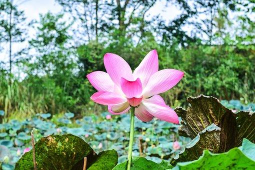 Lotus, Flowers, Nature, Flower, Bo, Water Plants, Water