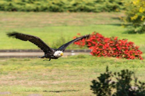 White Tailed Eagle, Flugshow, The World Bird Park