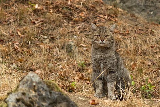 Wildcat, Nature, Wildlife Park, Bad Mergentheim