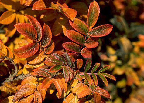 Foliage, Leaves, Zeschłe List, Rose List, Autumn