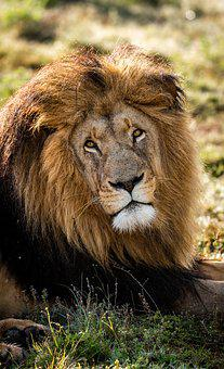 Lion, Predator, Africa, Mane, Portrait, Animal, Big Cat
