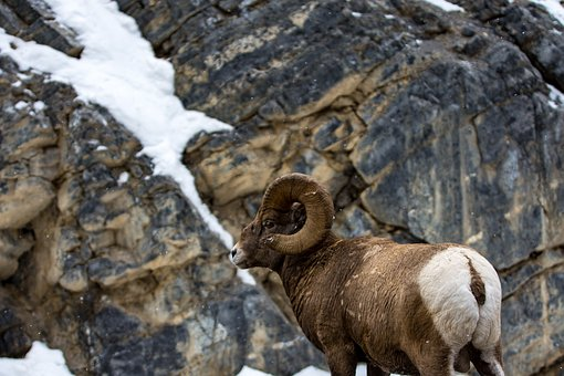 Ram, Mountain, Sheep, Wildlife, Wild, Animal, Mountains