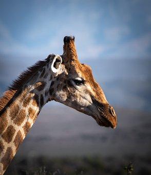 Giraffe, Safari, Africa, Animal World, Neck, Animal