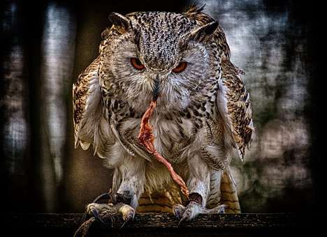 Owl, Prey, Bird, Feather, Eagle Owl, Animals, Wild Bird